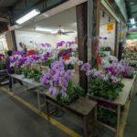 Mercato orchidee